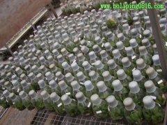 组培瓶 玻璃瓶厂